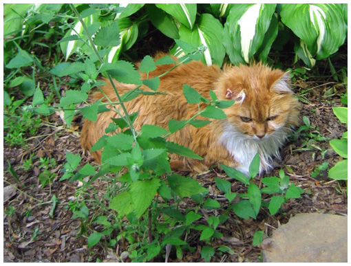 photo of cat in garden catnip