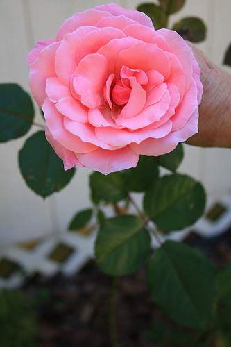 Appalachian rose