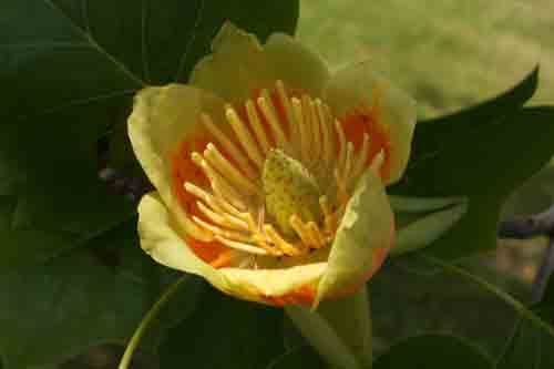Tulip poplar flower and leaf, Liriodendron tulipifera