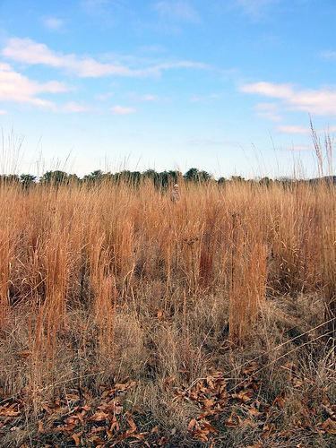 Prairie tall grasses in Winter
