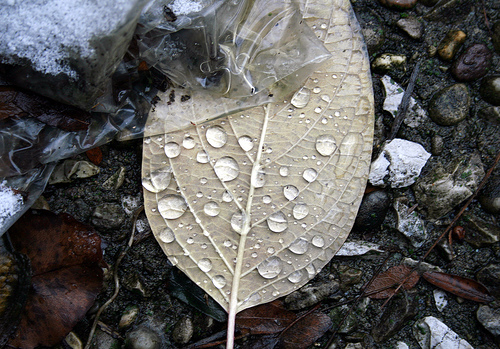Rainwater droplets on fallen leaf