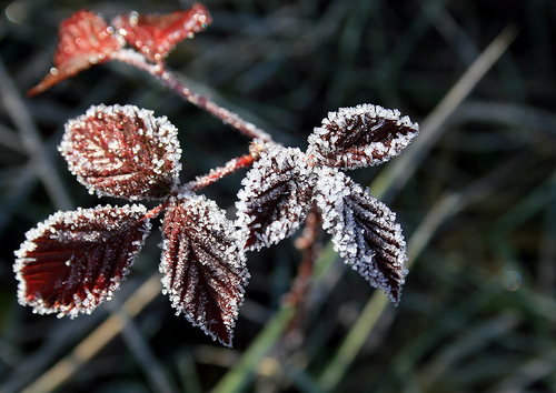 Ice on rubus sp. leaves