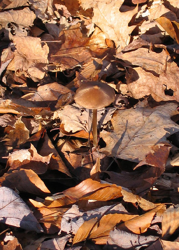 Find the toadstool, hidden amongst like-colored leaves