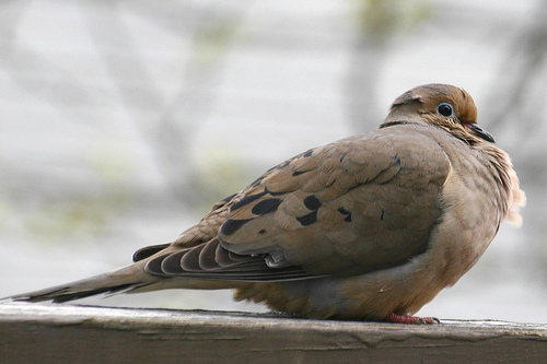 A mourning dove, sign of hope