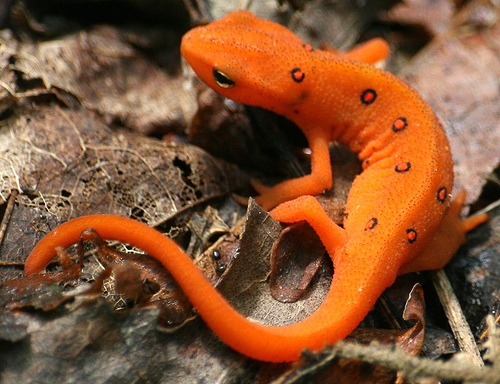 Red-spotted newt (Notophthalmus v. viridescens)
