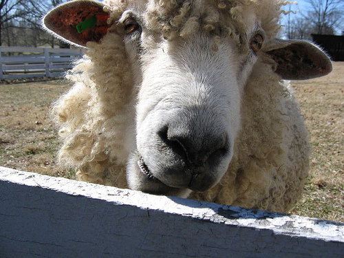 """Bessie"", close up of a sheep looking through fence"
