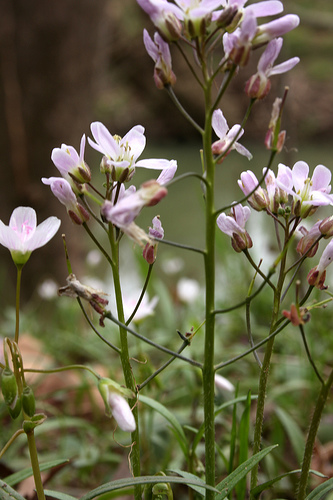 Cardamine douglassii, purple cress