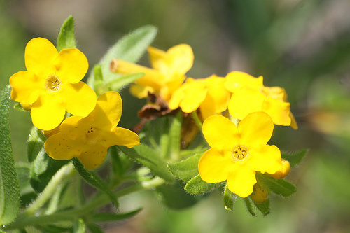 hoary puccoon Lithospermum canescens