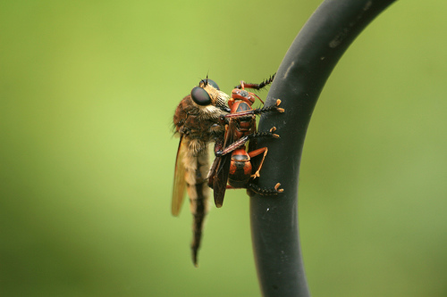 Close-up of Bearded Robber Fly, Asilidae sp.