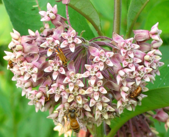 purple milkweed Daily Reflections
